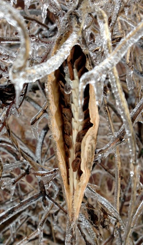 iced milkweed crop twk