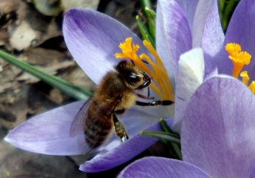 bee flower 4 tcrop