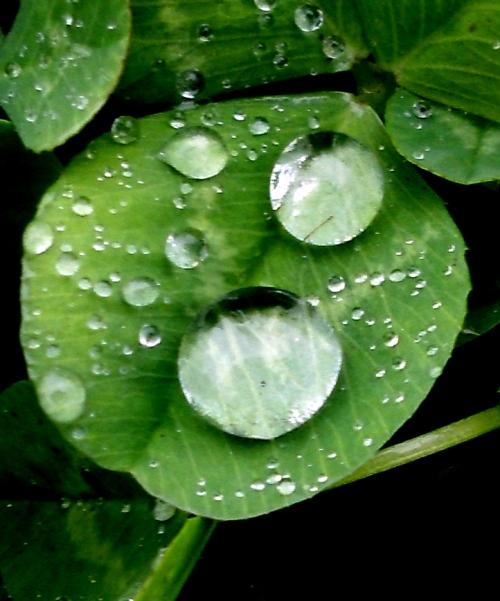 raindrops clover 1