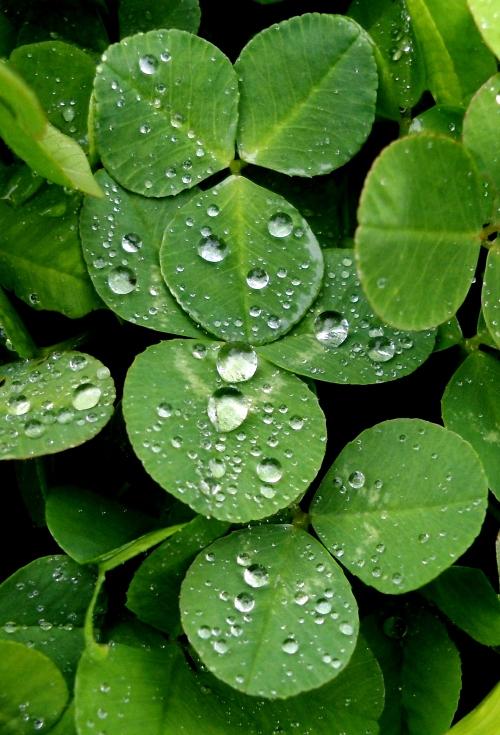 raindrops clover 2 crop1