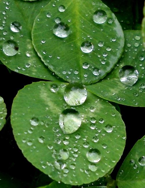 raindrops clover 2 crop3