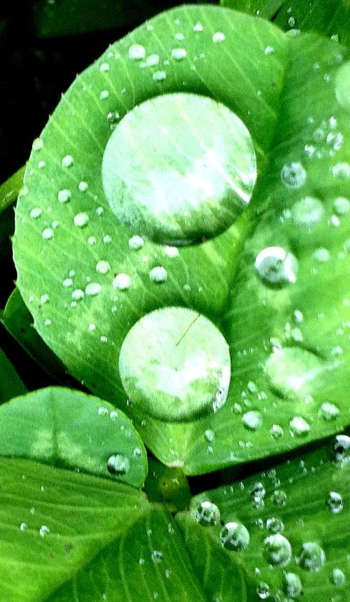 raindrops clover 4