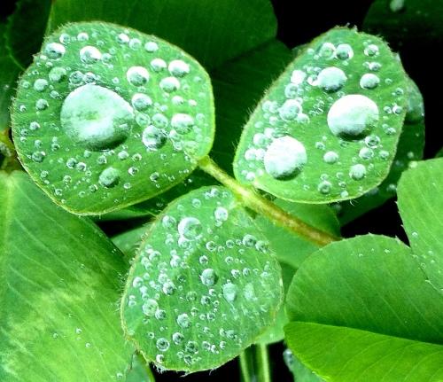 raindrops clover 6 crop 1
