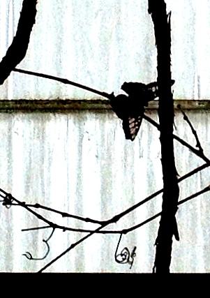 bfly streak glass twk 2 boost