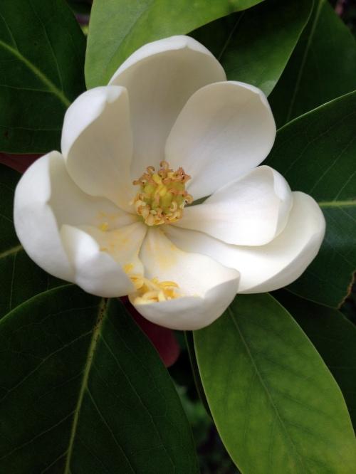 magnolia 5 24 steam