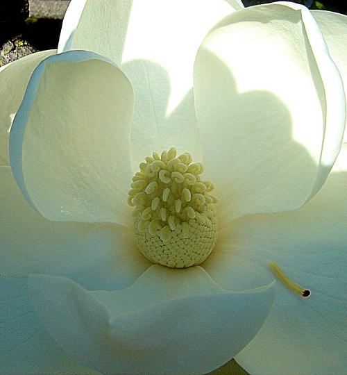 Magnolia blossom hdrish