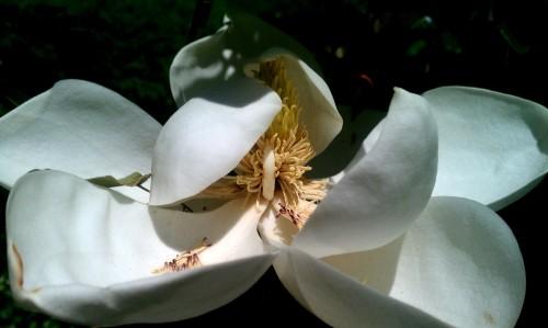 magnolia doom