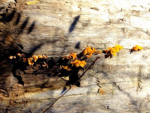 falls o yellow wood fungus 2