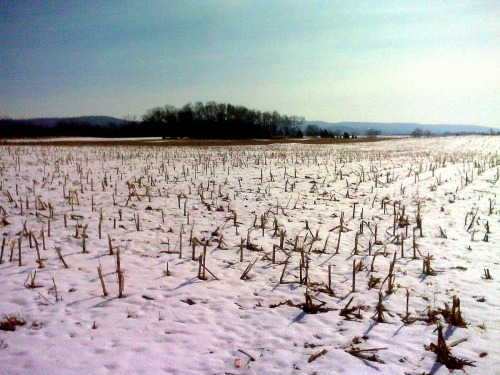 antietam cut corn stalks