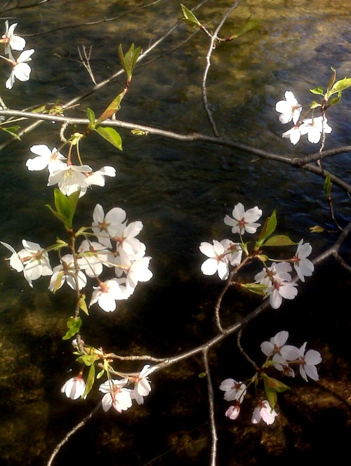cherry blossoms creek 2 crop twk