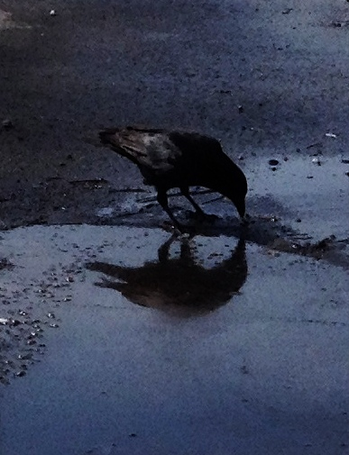 crow puddle