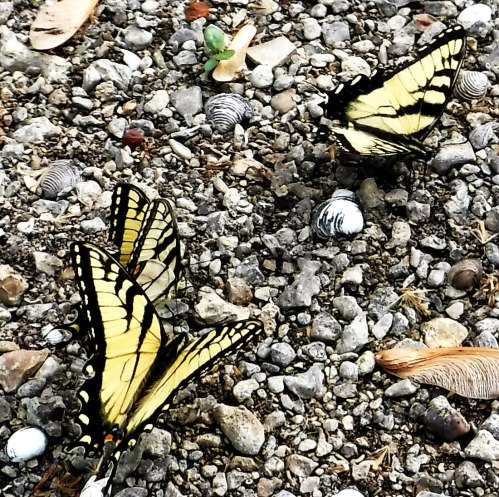swallowtails puddling