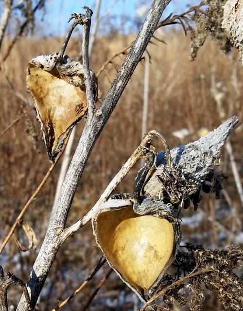 floyds-fork-milkweed-gold