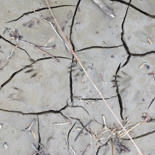 racoon-tracks