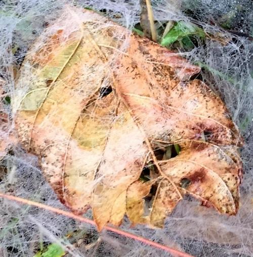 floyds fork pope lick web leaf face shad crop