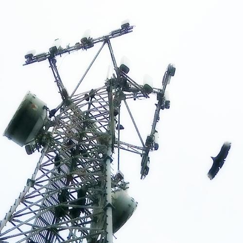 vultures cell tower crop luck cont sqcrop ort