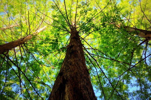 cypresses from below boost