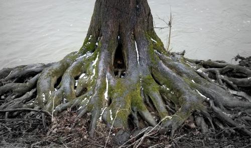 fforks river monster tree