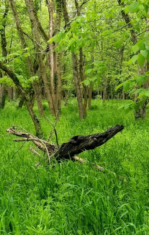 wistful twisted crocodile swamp wood crop2 cont twk